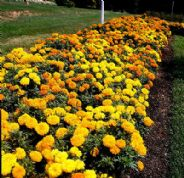 Marigold Crackerjack - African type